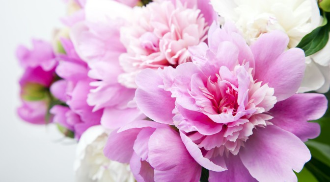 Beautiful bouquet of pink and white peonies in a vase is not a white background